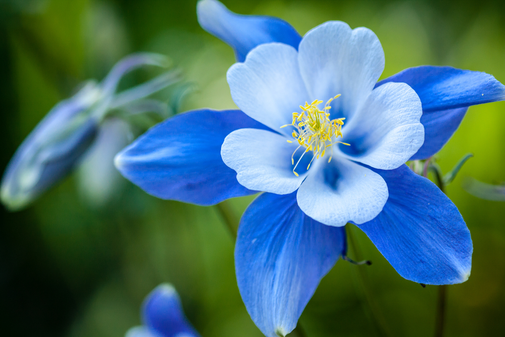 Stunning-blue-flower-you-will-see-at-the-2015-Wildflower-Pilgrimate-in-the-Smoky-Mountains